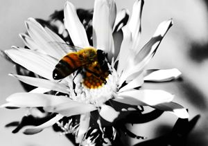 black and white bee - Ngtimages