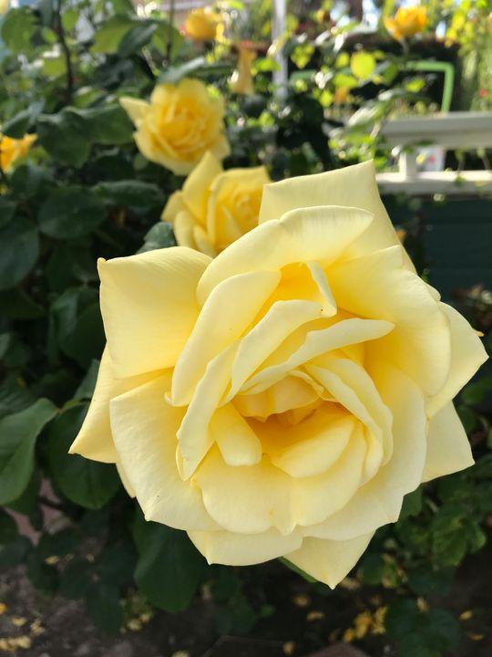 Yellow Rose (Belle Rose) - toksabukadesign