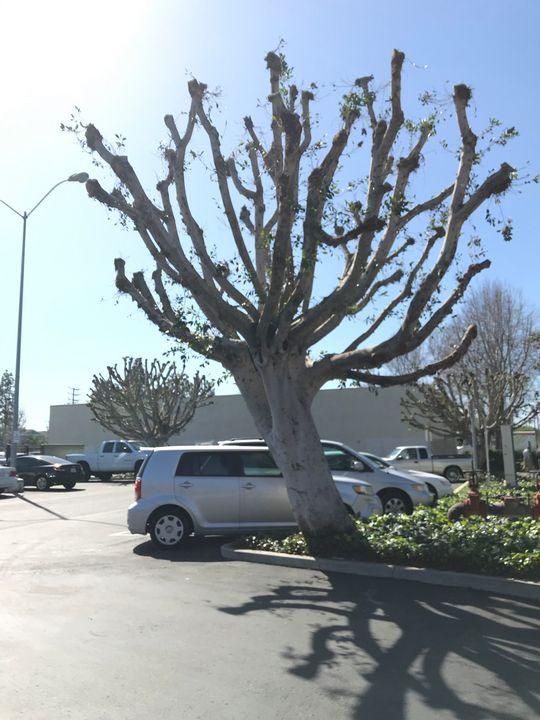 Trimmed Tree by Parking Lot - toksabukadesign