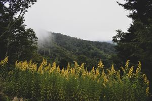 Appalachian Goldenrod