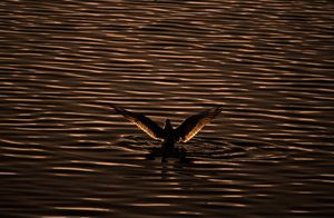 Silhouette of a bird on the Water