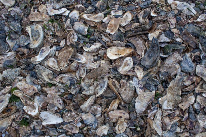 Oyster Shells on the Beach - Daniel Boavida