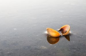 Sea Shell on Shallow Water