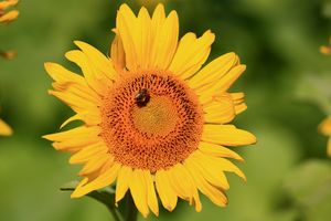 Sunflower with bee on it
