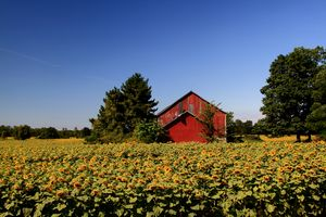 Sunflowers Farm.