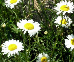 Wild White Daisies