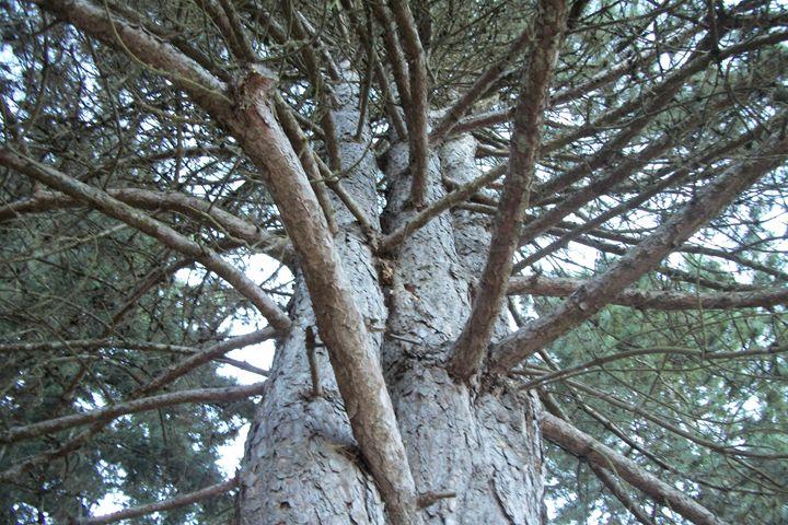 The Twin trees - Amazileafil art