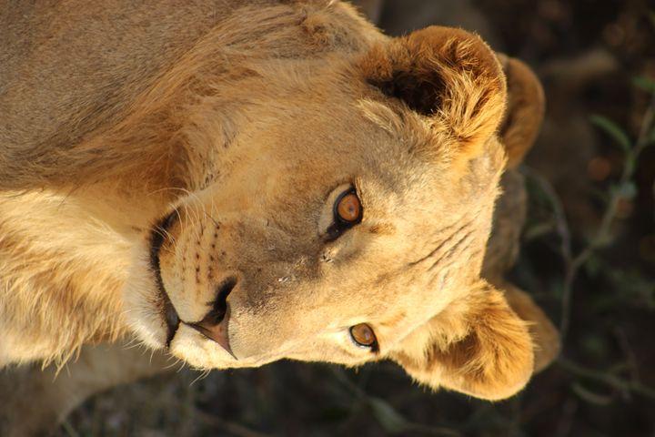 Lion - AJ Photography