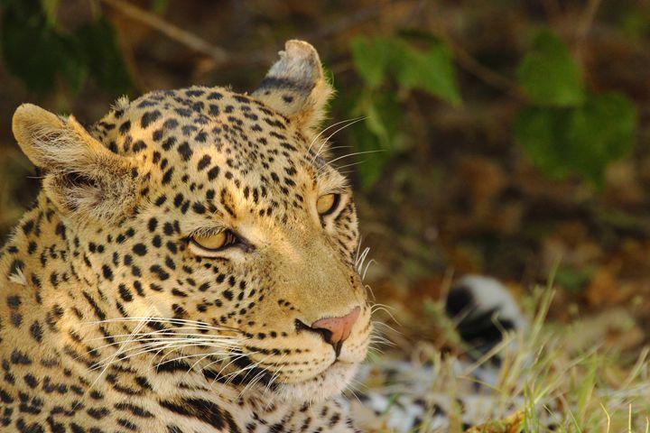 Sleepy leopard - AJ Photography