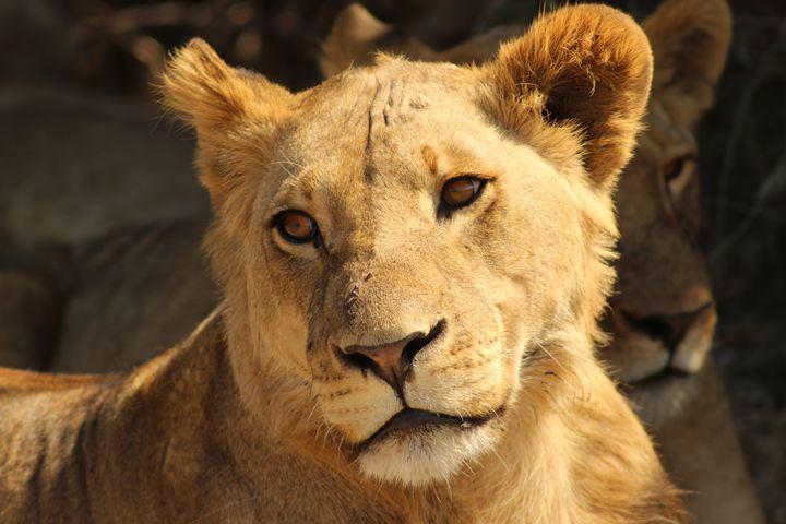 Golden Lion - AJ Photography