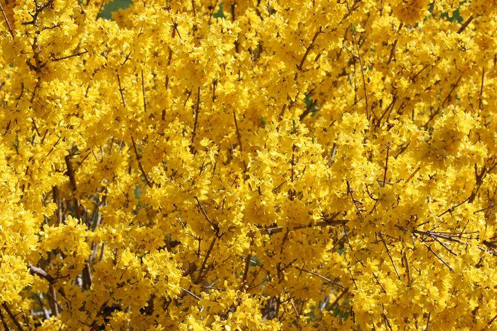 Spring Yellow - Adirondack Art & Soul