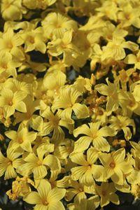 Yellow flowers in the garden.