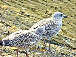 pair of gulls