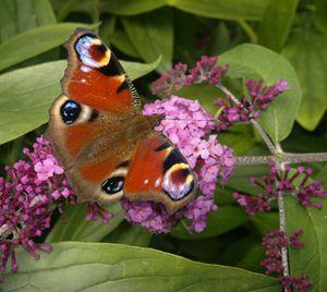 Peacock butterfly - Aglais io
