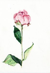 Watercolor,Aquarelle originale, rose