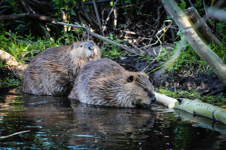 Beavers at Work 6 - 727 Jazz & Co