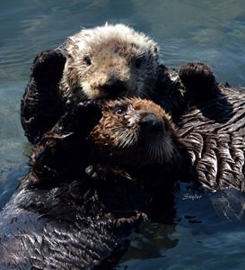 High Five Sea Otter Morro Bay - FASGallery/ArtPal