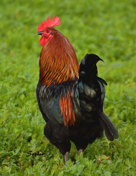 Rooster on the Loose - FASGallery/ArtPal