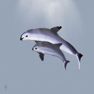 Vaquita Porpoises