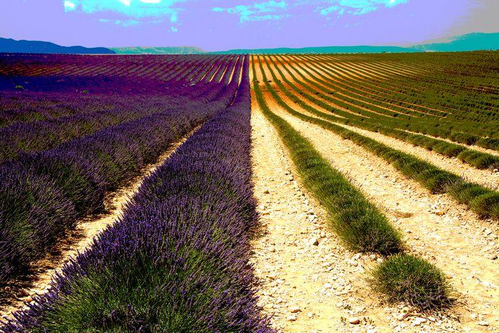 Lavender, Provence, France - Nicholas Rous