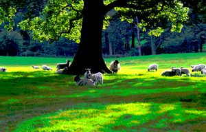 Sheep under an oak tree