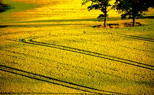 Tracks in a wheatfield, England
