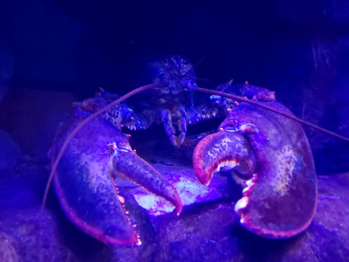 Lobster at the Ready - Audra D. Valdez