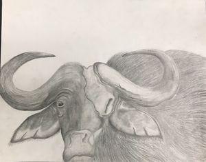 Water Buffalo graphite drawing