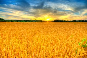 Wheat sunset