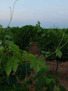 Vineyards - BlueSky Photographies