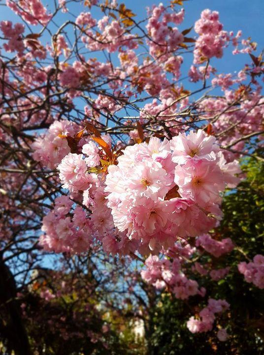 Cherry Blossom - Saaz Arty