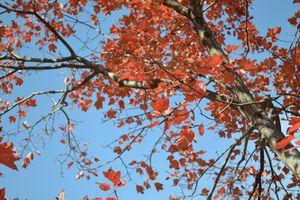 Autumn tree - Irina Ushakova