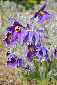 Pasqueflowers - Irina Ushakova