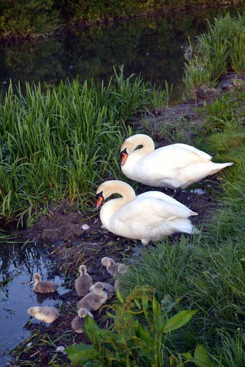 Swan's family - Irina Ushakova