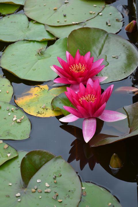 Pink waterlilies 2 - Irina Ushakova