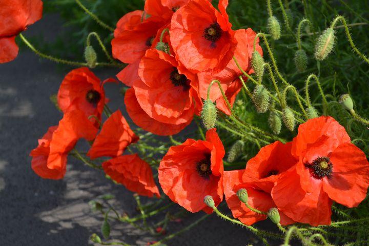 Poppies 2 - Irina Ushakova