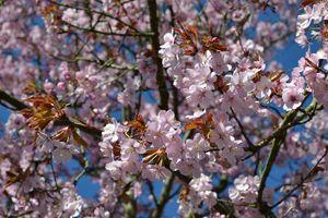 Pink blossom - Irina Ushakova