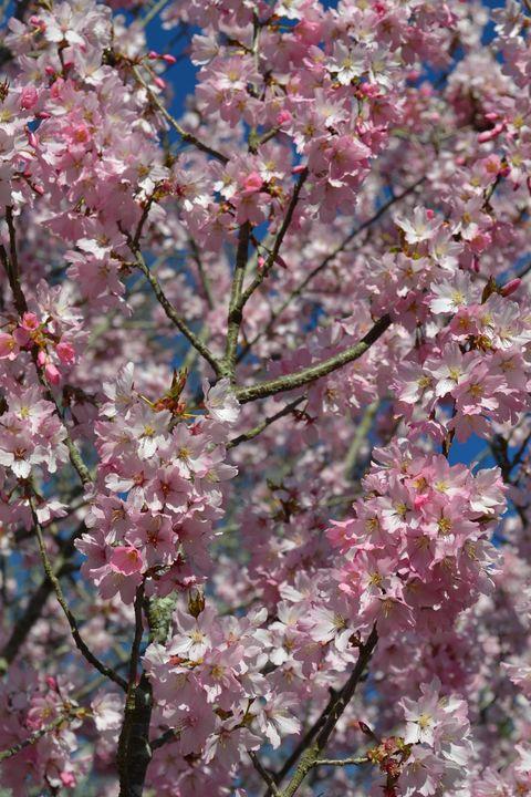 Pink blossom on sky background. - Irina Ushakova