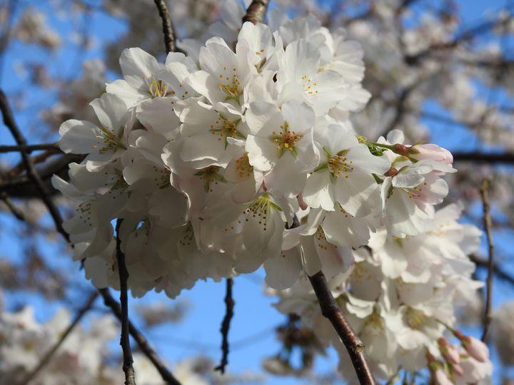 White blossom. - Irina Ushakova