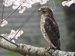 Sharp-shinned hawk on a branch. - Irina Ushakova