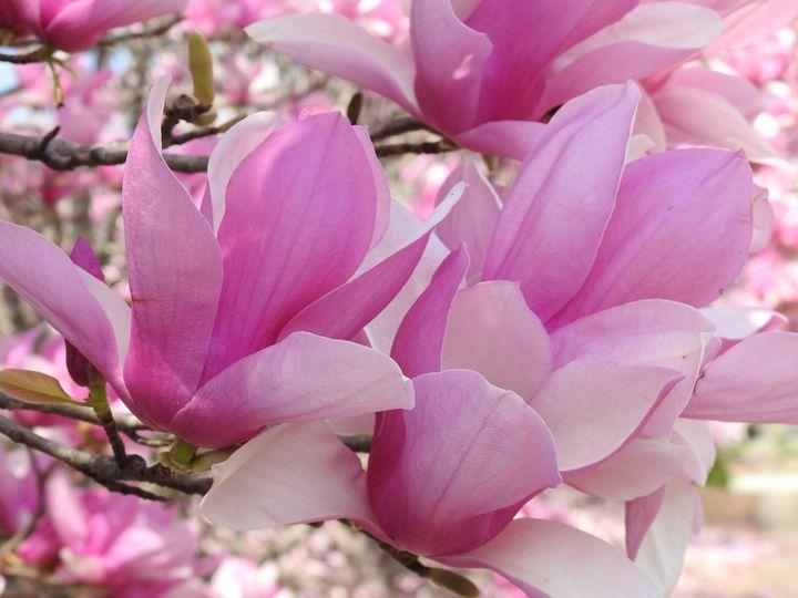 Pink Magnolia - Irina Ushakova