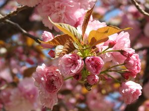 Pink blossom. - Irina Ushakova