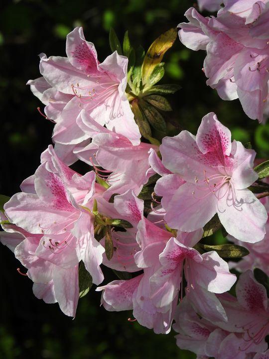 Pink azalea 2 - Irina Ushakova