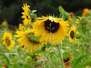 Sunflowers - Irina Ushakova