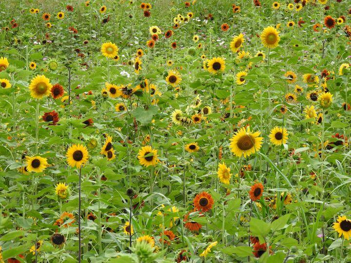 Sunflowers 2 - Irina Ushakova