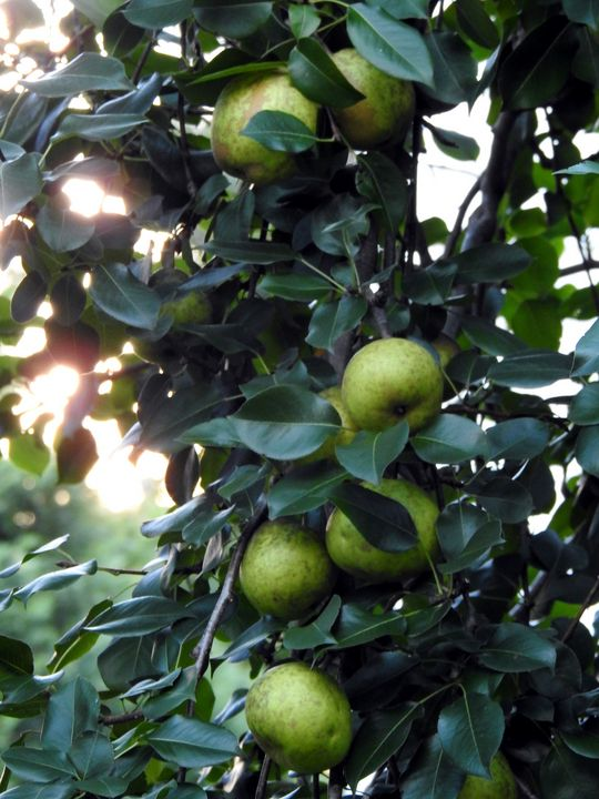 Pear tree - Irina Ushakova