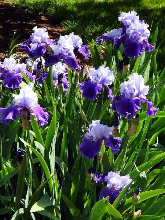 Irises - Irina Ushakova