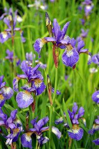 Irises 2 - Irina Ushakova