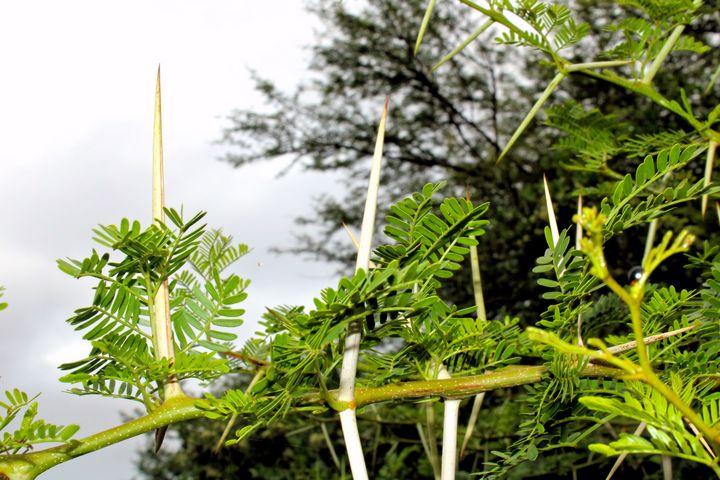Close Up of a Sweet Thorn Tree 2 - Elizma Jordaan Art