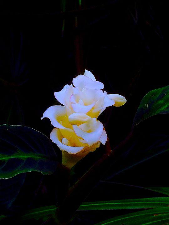 White Calathea - B's Fine Arts